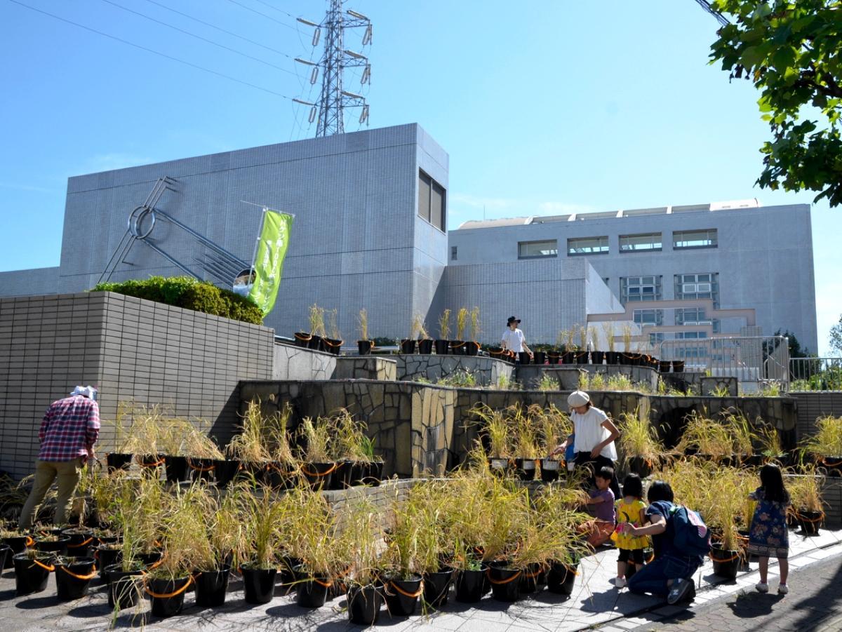 噴水にバケツ稲を設置。体験会では、収穫しやすいように噴水の外に出している。