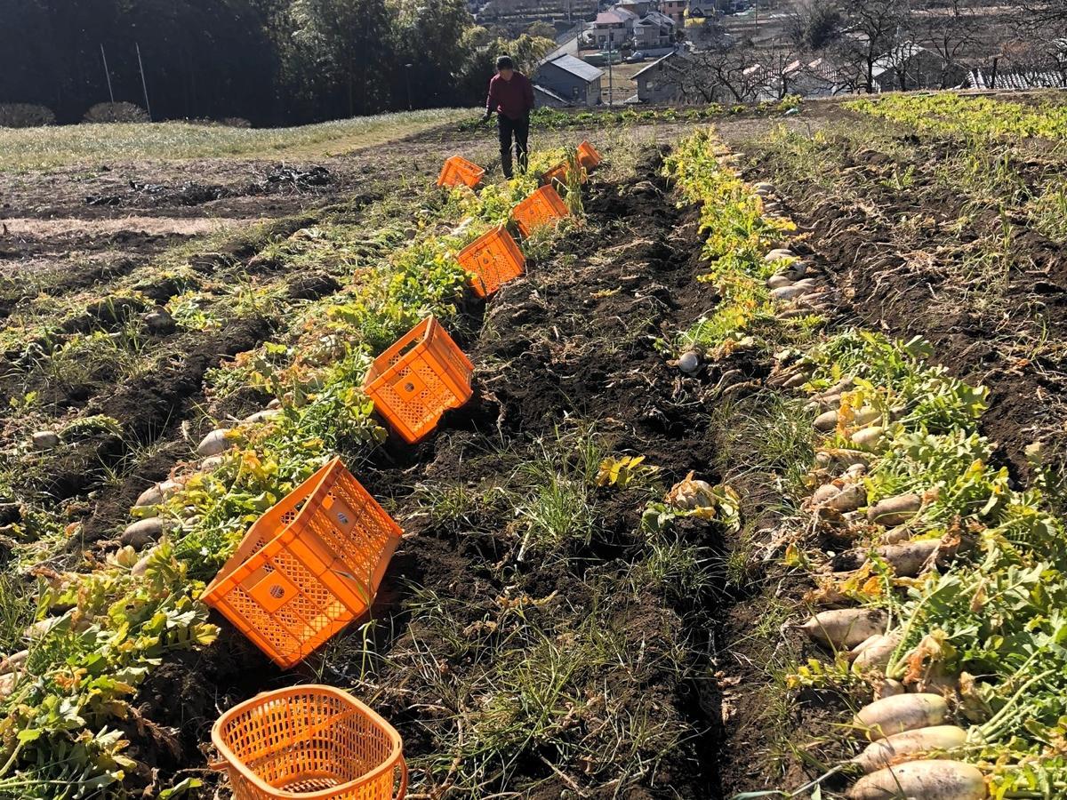 バンブービレッジファームで収穫したダイコン。紅芯大根、源助だいこんといった固定種のみ栽培している。