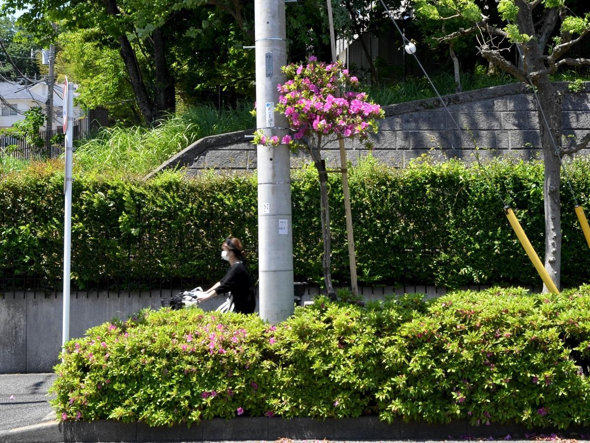 昭和薬科大学近くの「ど根性ツツジ」(2020年5月7日撮影)