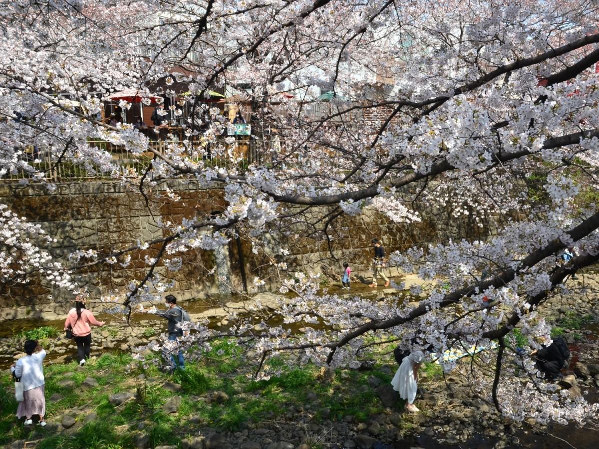 高瀬橋付近のサクラ(2021年3月27日12時台に撮影)
