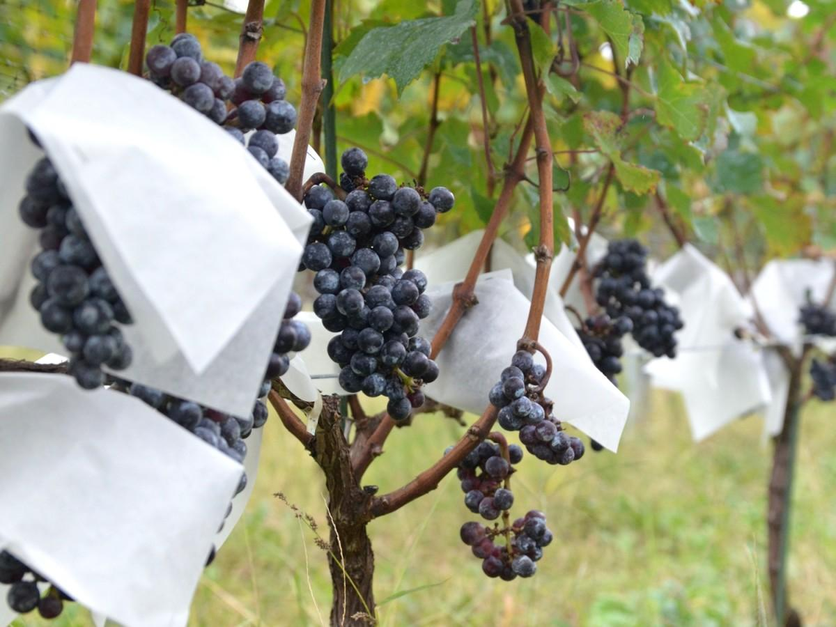 相模原市内で栽培されている醸造ブドウ
