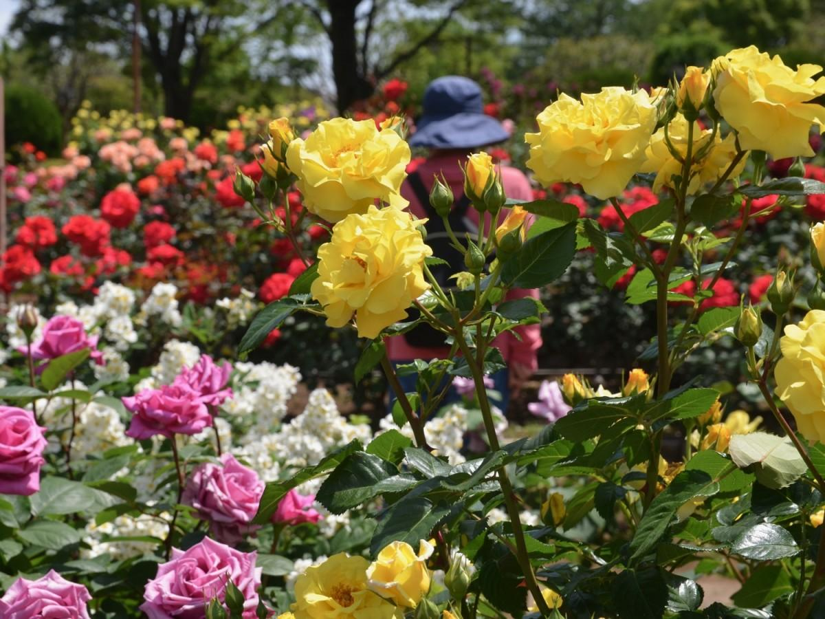 花木園のバラ(2021年5月10日撮影)