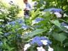 町田のアジサイ園が限定開園 色とりどり17品種5000株