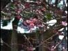 町田天満宮に梅とメジロ 春の陽気で見頃に