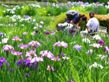薬師池公園の花ショウブ見頃に カイツブリの親子も