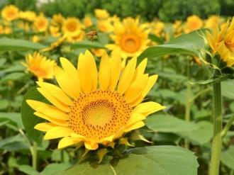 「ヒマワリで元気出して」 町田の畑で2年ぶり1万本開花