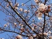 松戸市内6カ所で「桜まつり」 満開に期待