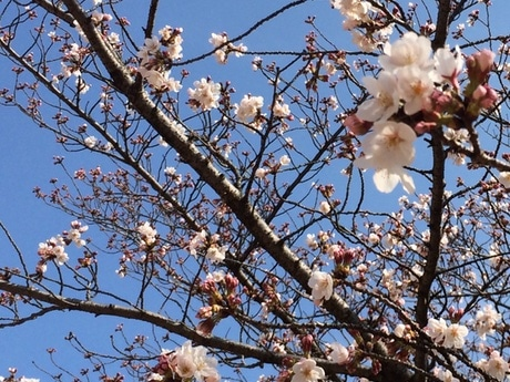 現在市内の桜は一~五分咲き(画像は新松戸中央公園)