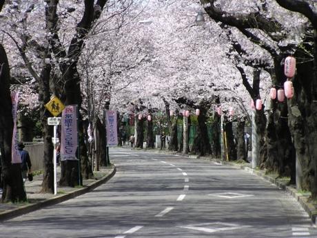 松戸市内各地でさくらまつり 特設ステージで各種イベントも