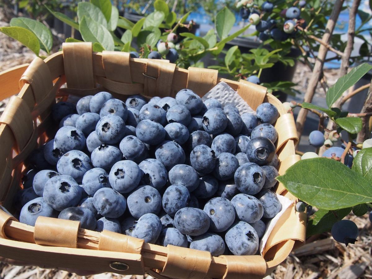 ブルーベリーファーム新松戸では30品種の収穫ができる