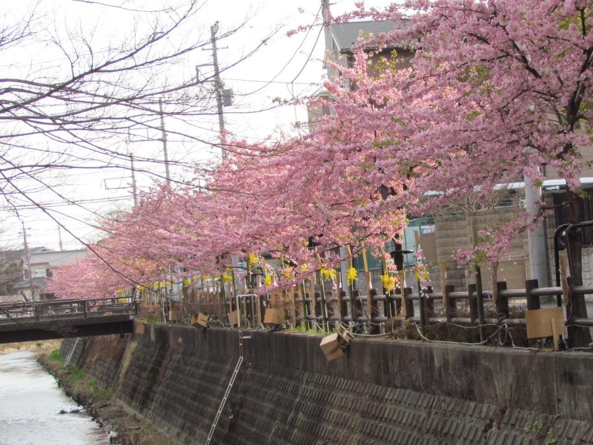 坂川沿道と満開の河津桜(松戸市観光協会提供)