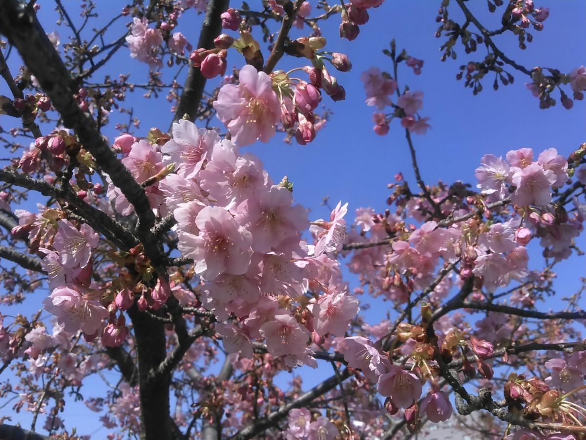 見ごろを迎えた河津桜