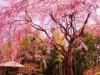 松戸市内の戸定邸や古刹のしだれ桜、見頃迎える