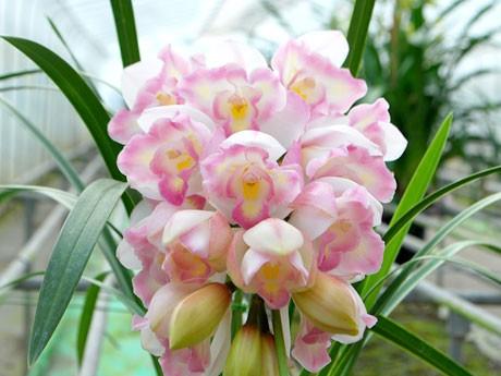 八重咲きのシンビジウム(写真提供:寺沢洋蘭園)