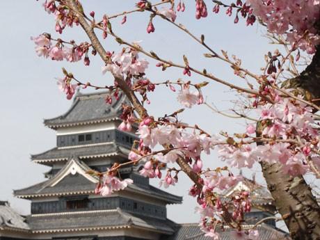 本丸庭園内の桜も今年は遅めの開花