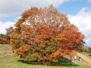池田町・大峰高原の「七色大カエデ」見頃に-推定樹齢250年の大木