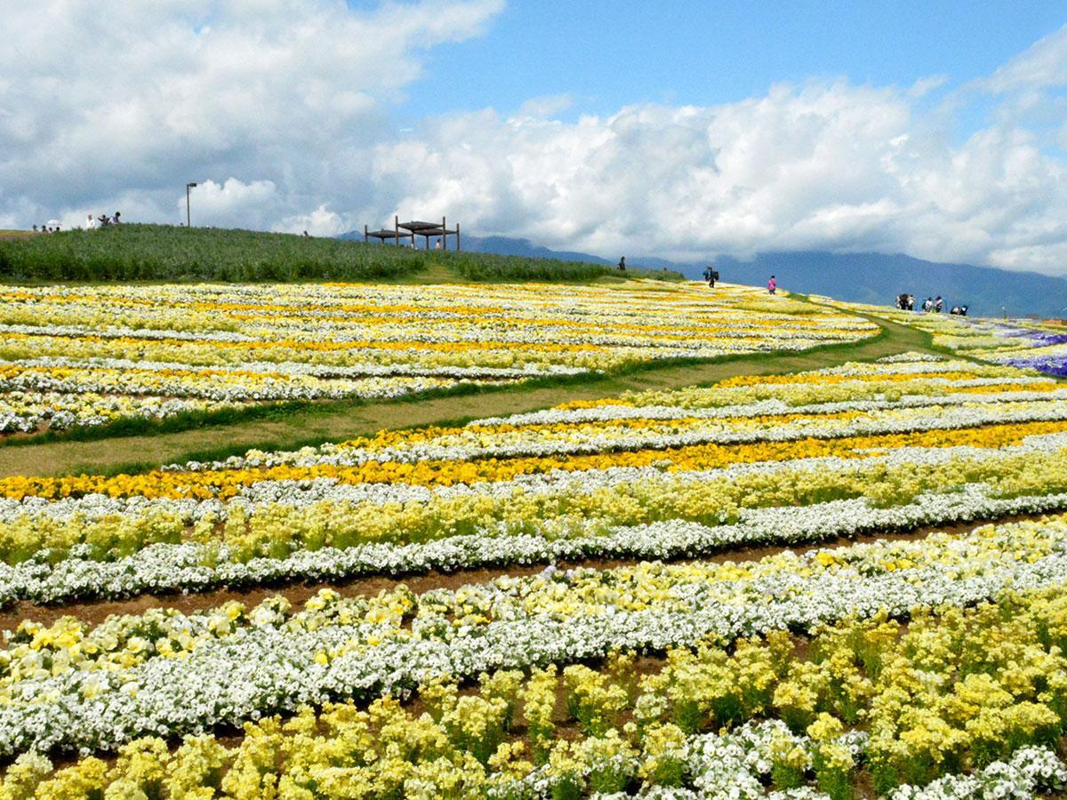 2000人以上が花の植え付けに参加した大花壇「北アルプスと花の丘」