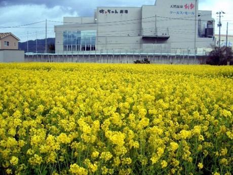 広い敷地に100万本の菜の花が咲く