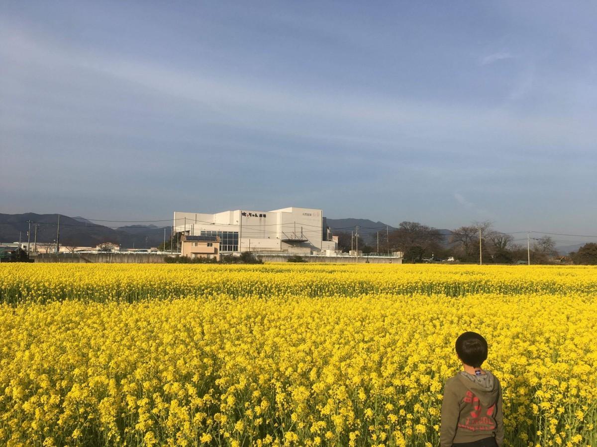 200万本の菜の花が一面に咲く、見奈良菜の花まつり(2019年3月5日撮影)