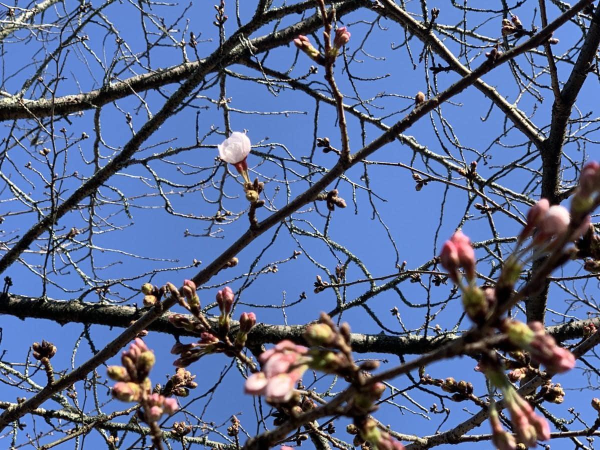 開花が確認された、松山市・道後公園内の「ソメイヨシノ」標準木(2020年3月25日午前)