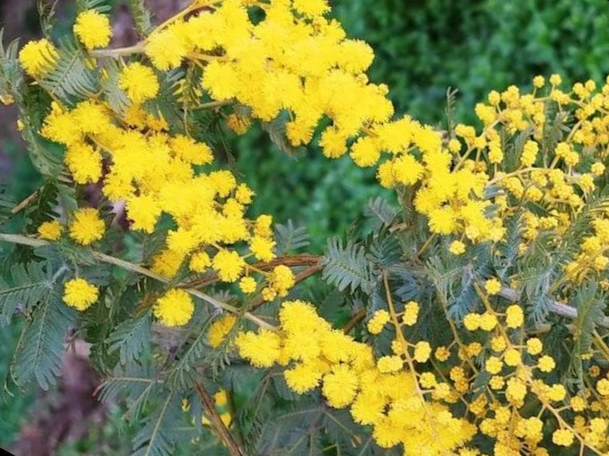 今月22日に開花した佐礼谷の「イヨミモザ」。2月下旬から3月上旬にかけて見頃を迎える