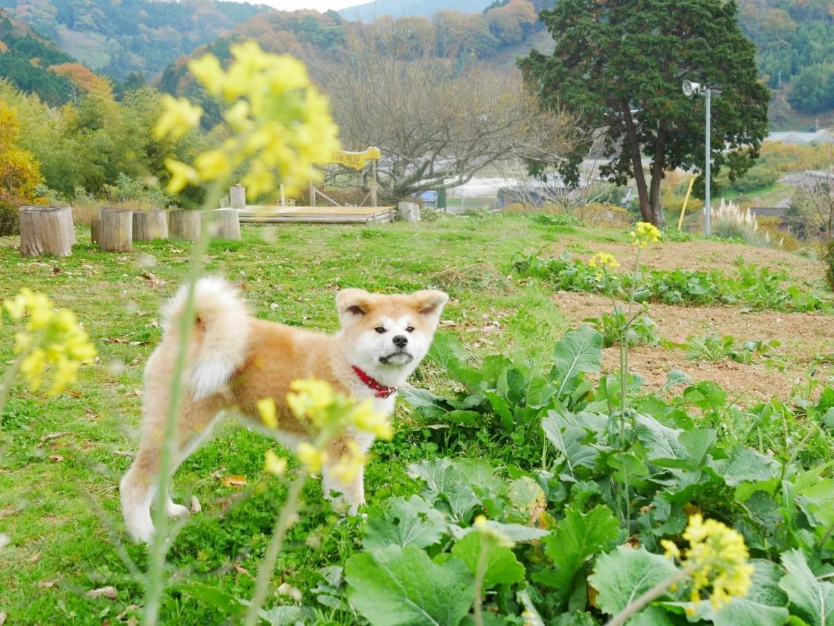 地域メディア「ヒノボリ」で2020年の人気投票1位に輝いた「犬寄峠の黄色い丘、秋田犬の菜々」