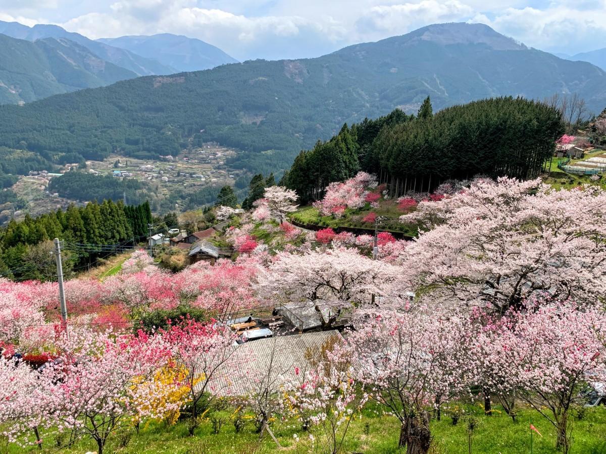久万高原町・中津「花桃の里」(2021年3月27日撮影)