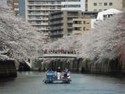 目黒川で花見クルーズ 船上から桜、手の届きそうな近さも醍醐味