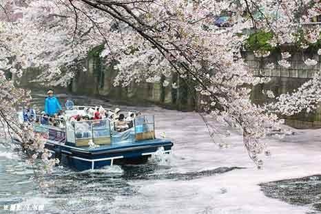 桜の花びらが水面に折り重なってできる花いかだ