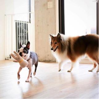 同社オフィスでも、預けられた犬同士遊ぶ様子がみられる