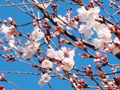 ちらほら咲き始めたシキザクラ