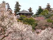 偕楽園で恒例「水戸の梅まつり」 早春の訪れ楽しむ