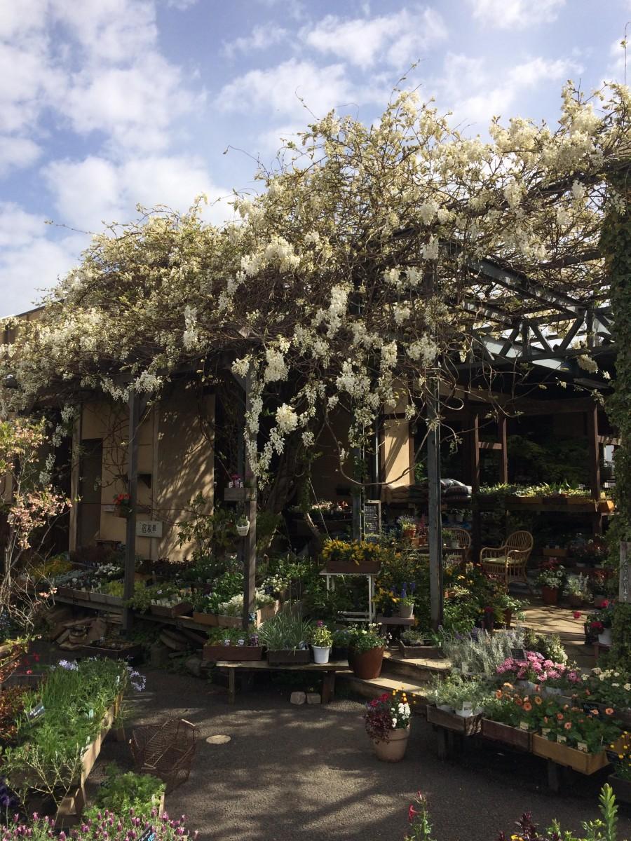 白い藤の花が咲くフラワーショップ「結いのはな」外観