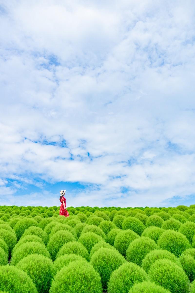 「夏空とコキアの丘」(撮影:aiaki_1さん)