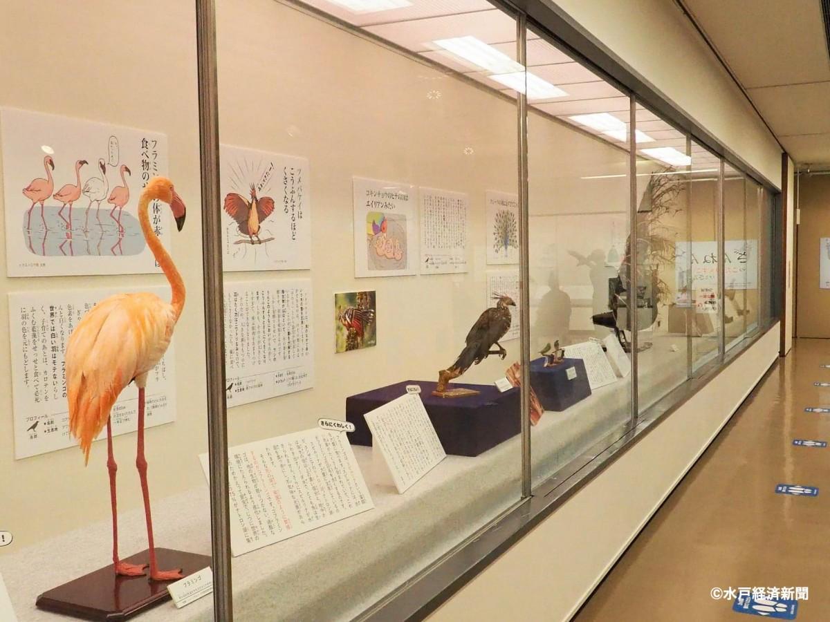 「ざんねんな鳥&茨城のいきもの展」の展示