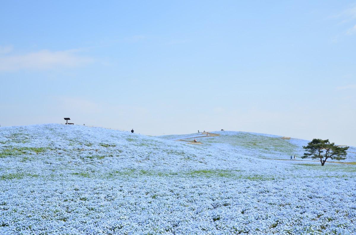 7分咲きのネモフィラ(写真提供=国営ひたち海浜公園)