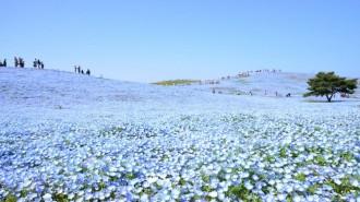 ひたち海浜公園のネモフィラ満開に 「空や海と溶け合う風景を、今年こそ」