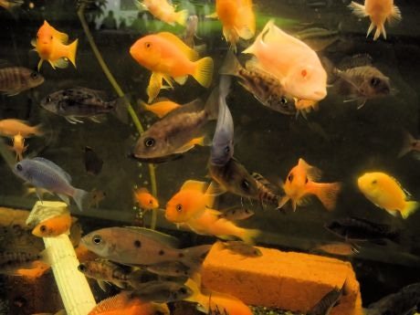 水槽を泳ぎ回る色鮮やかなアフリカンシクリッド