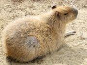盛岡市動物公園にカピバラ仲間入り 愛称募集に1週間で1000通