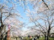 盛岡城跡公園の桜が満開に 野鳥ウソ対策の効果も