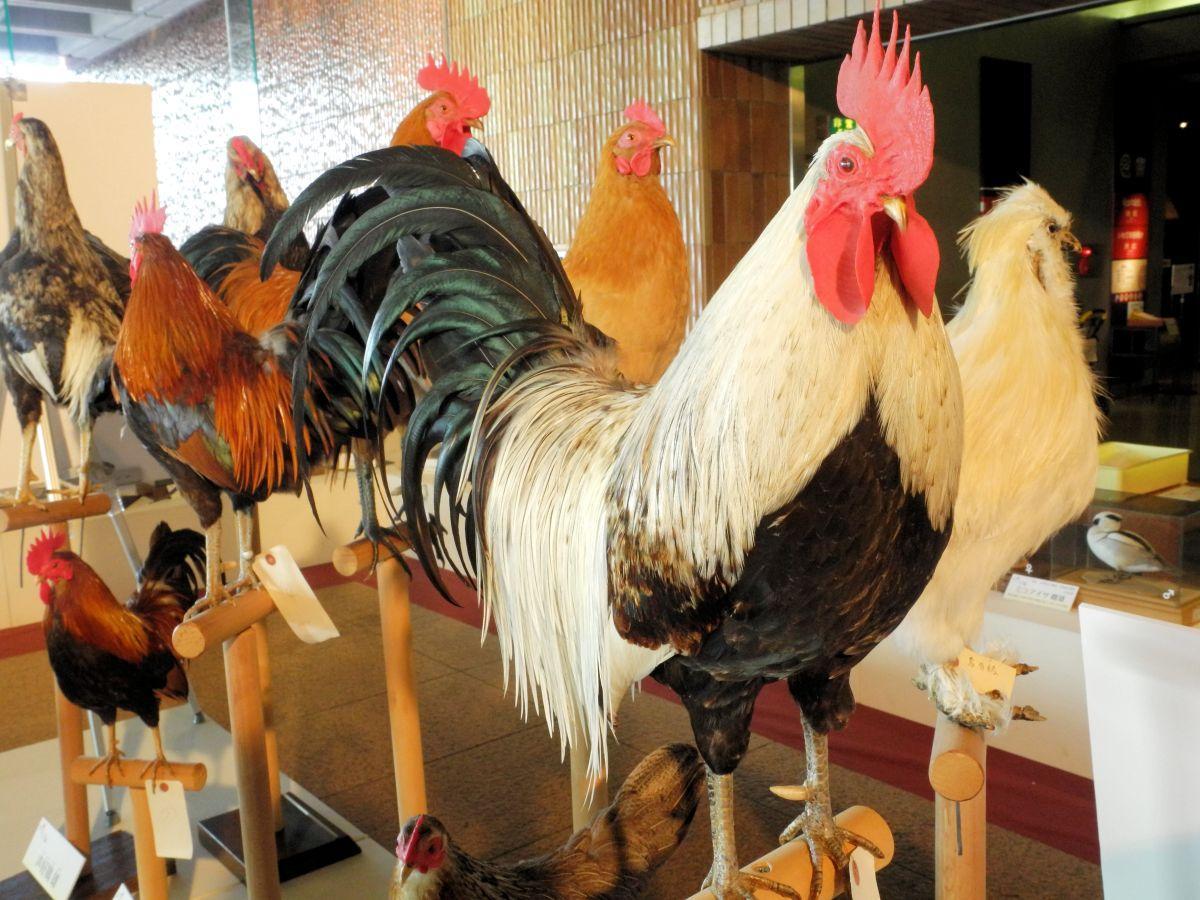 今年の干支「酉」からは地鶏のはく製。手前に写る「岩手地鶏 白笹」は白く美しい羽が特徴。