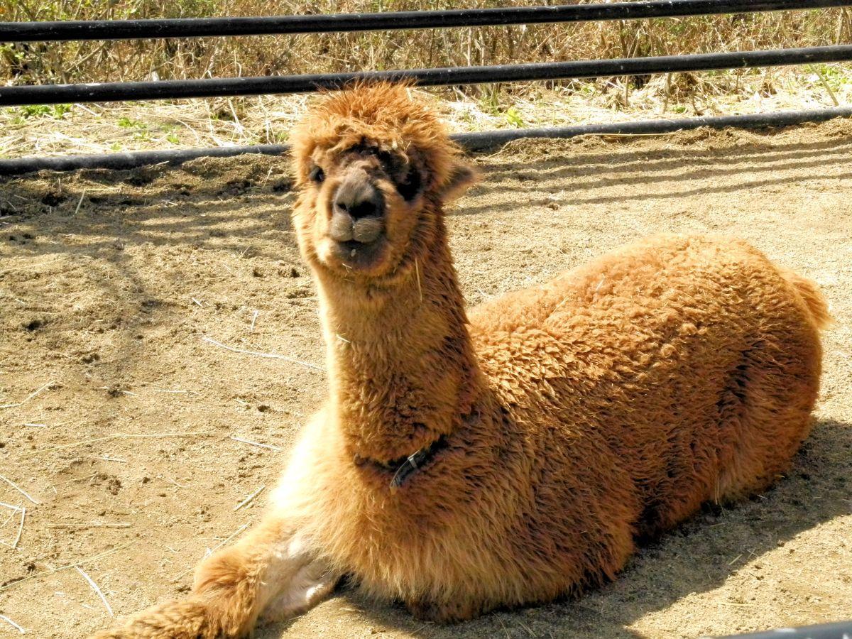 盛岡市動物公園に新しい仲間 雄アルパカの名前は「モカ」