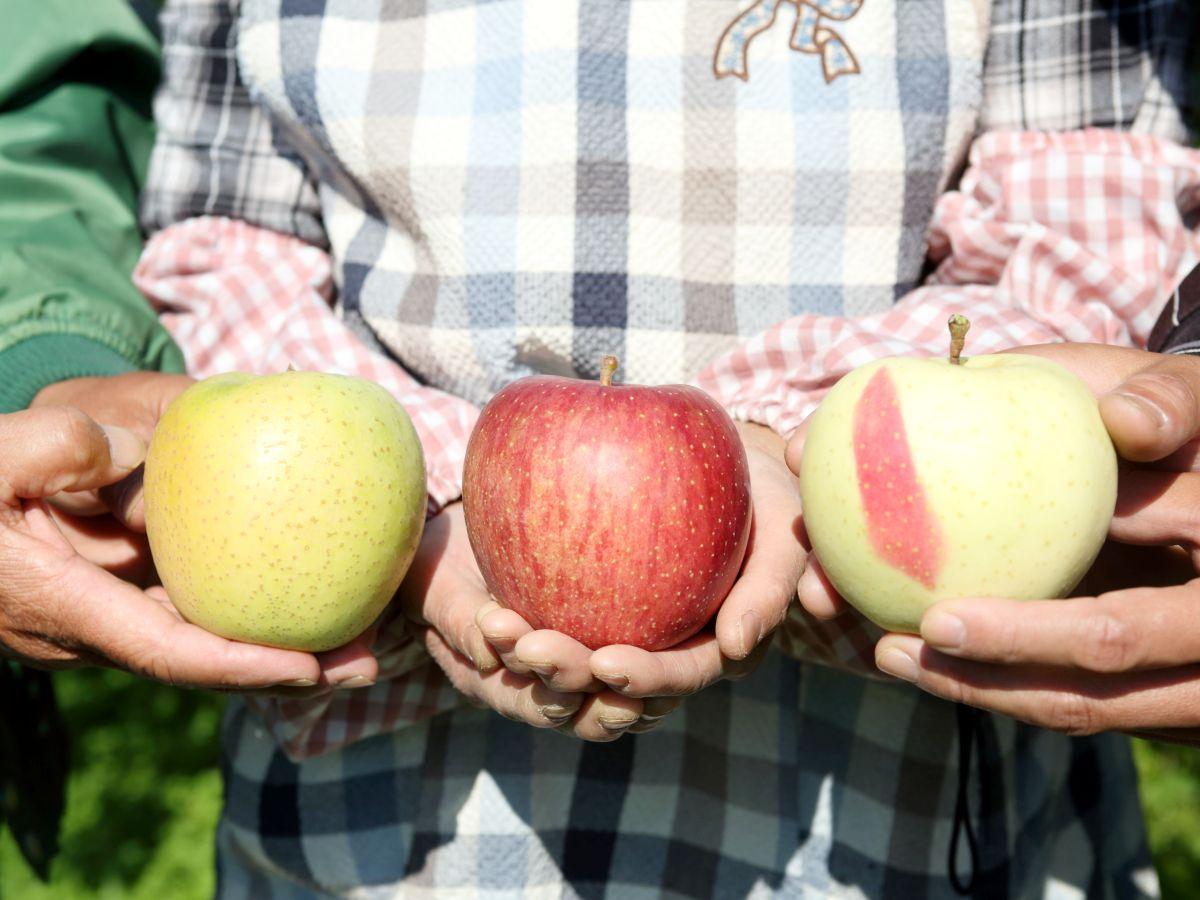 収穫時期を迎えた「盛岡りんご」。当日は農家から教わりながら収穫体験を行う