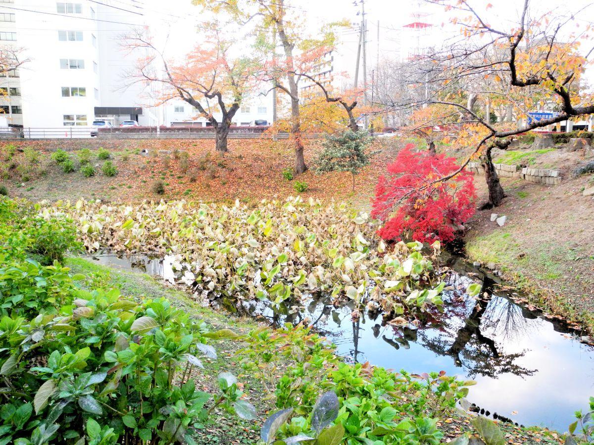 清掃が行われる県庁側の亀ヶ池にはたくさんのハスが茂っている
