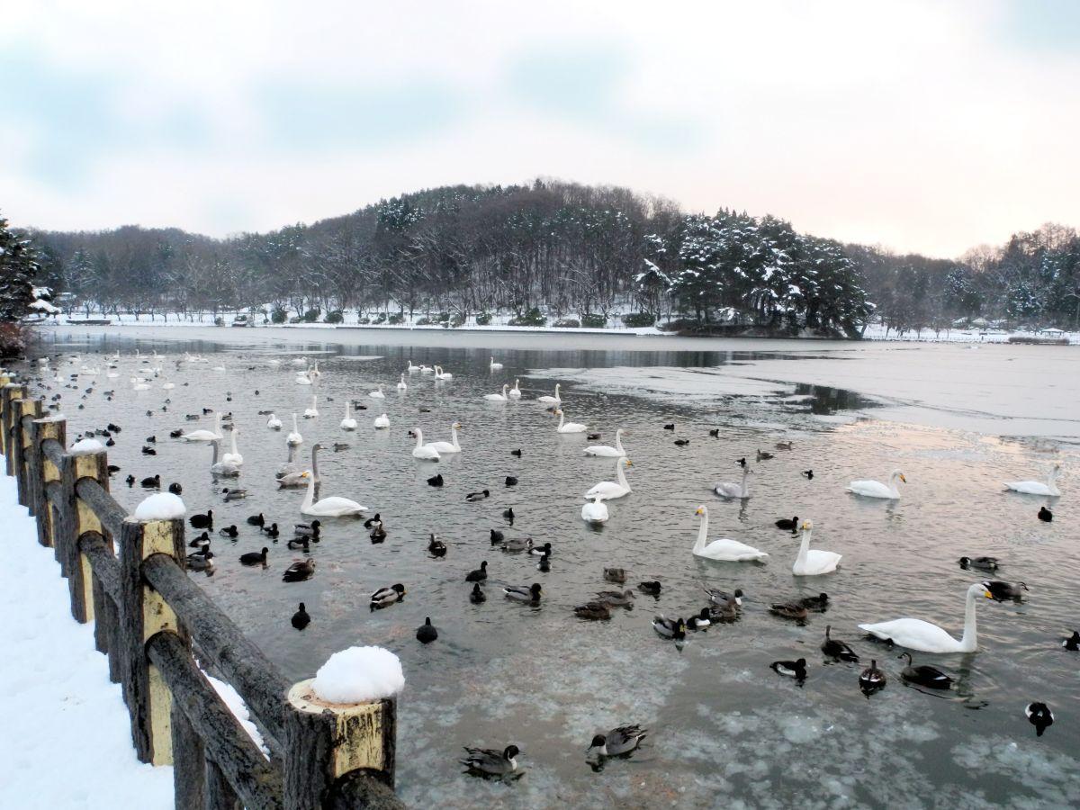 白鳥が飛来した冬の高松の池