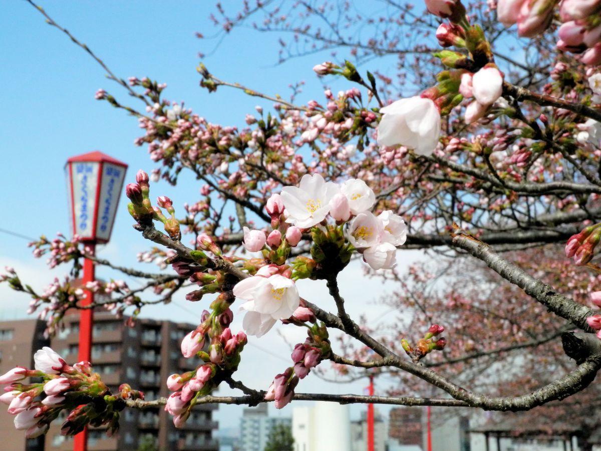 4月18日に開花宣言が発表された盛岡城跡公園の桜