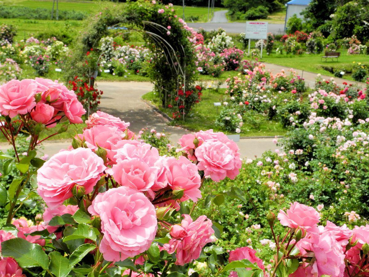 610種のバラが咲くローズガーデン。種類によって見頃が異なる