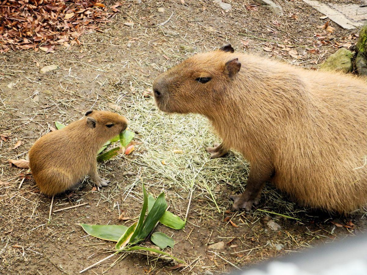 11月2日に生まれたカピバラの赤ちゃん。母親のサクラと一緒にもりもりご飯を食べる