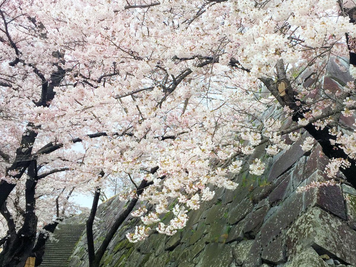 満開を迎えた盛岡城跡公園の桜。ひっそりとした公園内で咲き誇る