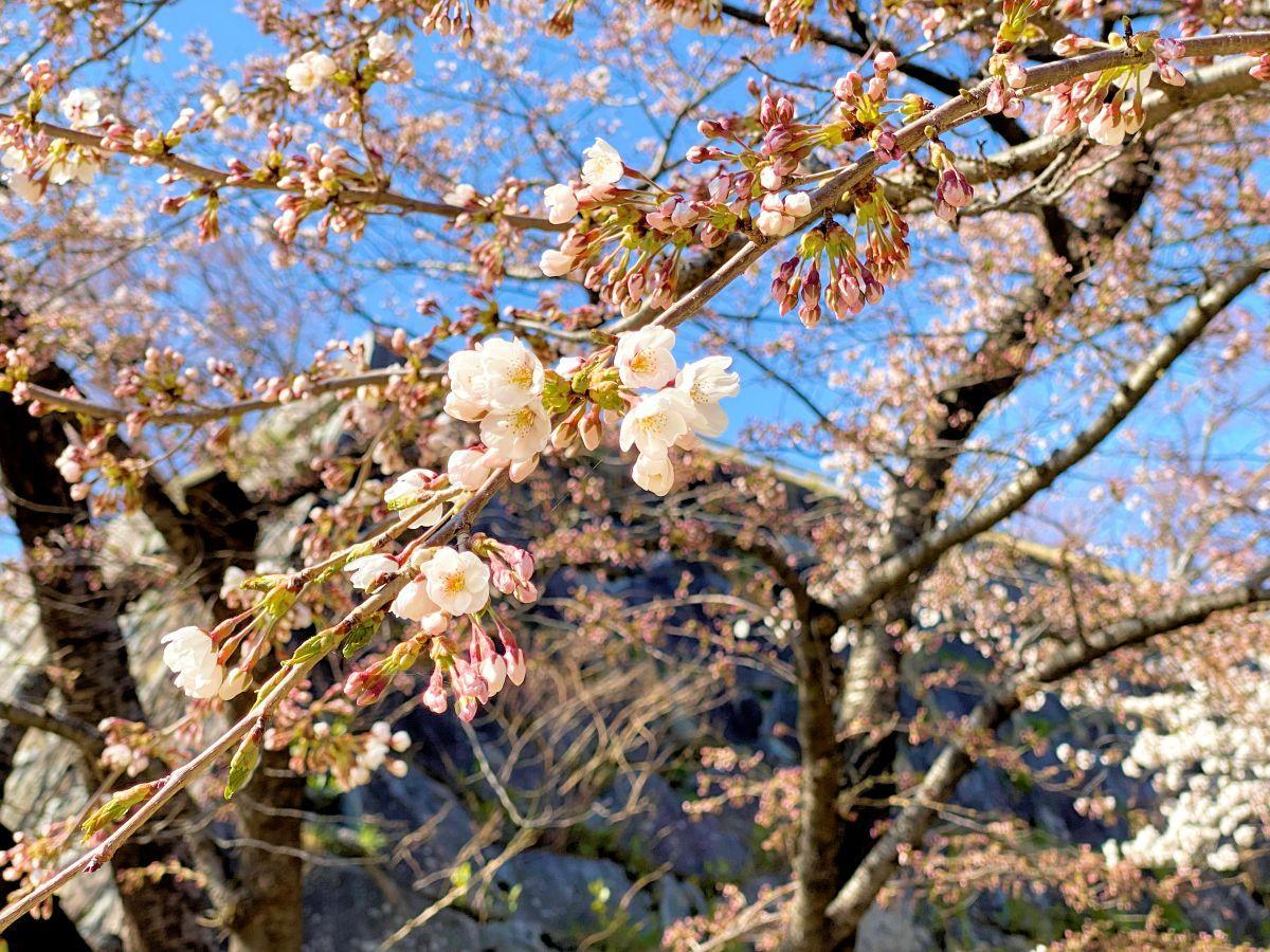 ほころび始めた盛岡城跡公園の桜。日当たりのいい場所ではたくさんの花が開いている